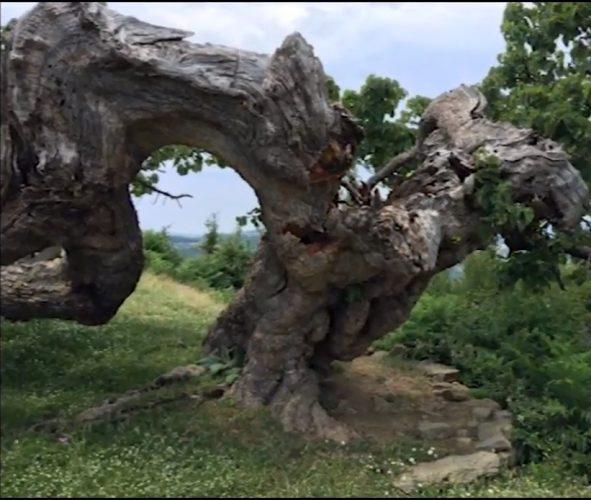 Misteri i pemës shekullore në Gramsh…