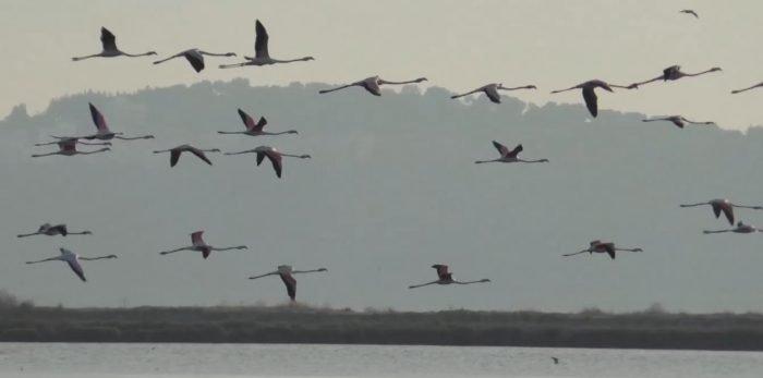 Flamingot rikthehen në shtëpi pas 21 vitesh shtegtim